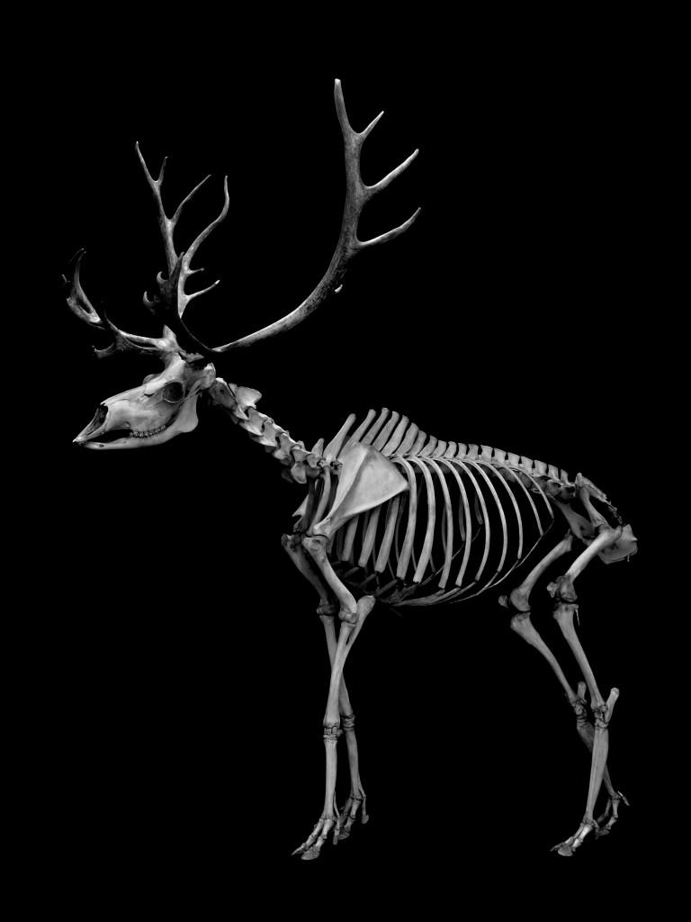 144 トナカイ 骨格  Reindeer Skeleton