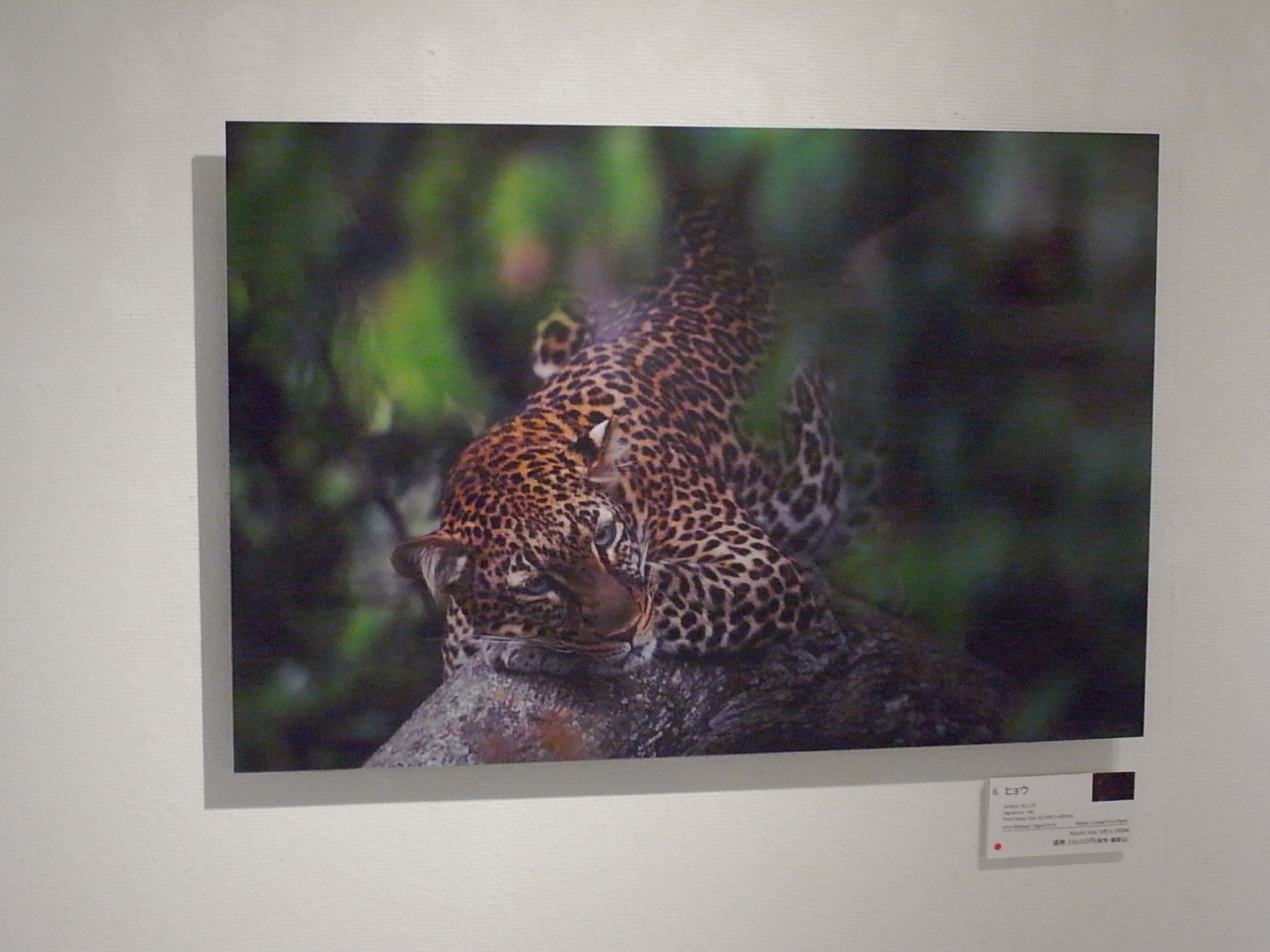 LEOPARD Photo Picture Poster Print Art A0 A1 A2 A3 A4 Animal Poster 3345